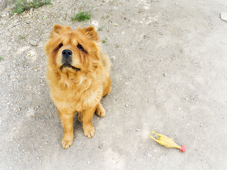 chow: Brown chow chow dog