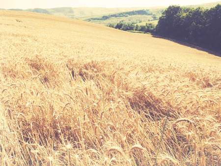 vintage look: summer background, wheat field, vintage look Stock Photo