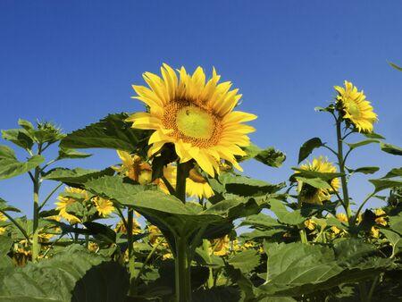 vintage look: summer background, sunflower, vintage look