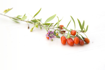 chinese wolfberry: branch with goji berries