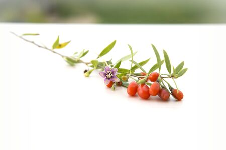 lycium: branch with goji berries