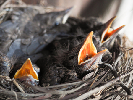 overcrowded: baby swallows in a crowded nest