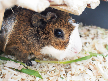 timidity: Abyssinian guinea pig