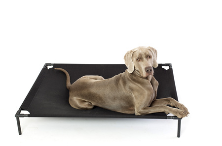 Weimaraner dog on elevated dog bed Stock Photo