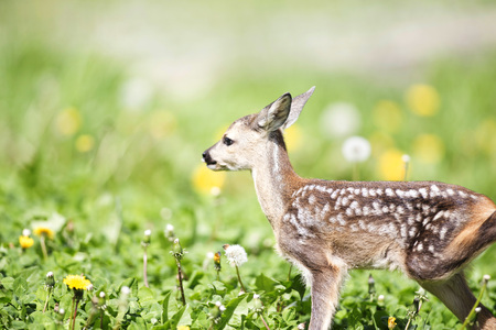 Baby fawn, wildlife rescue concept