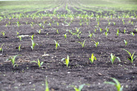 cultivating: Corn field