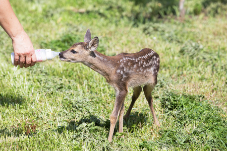 Taking care of a baby deer Stock Photo