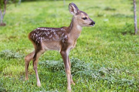 赤ちゃん子鹿、野生動物背景
