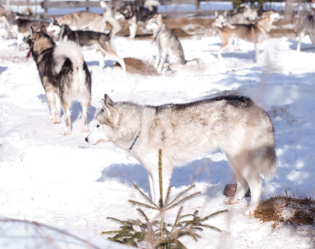 Husky pack outside in the snow