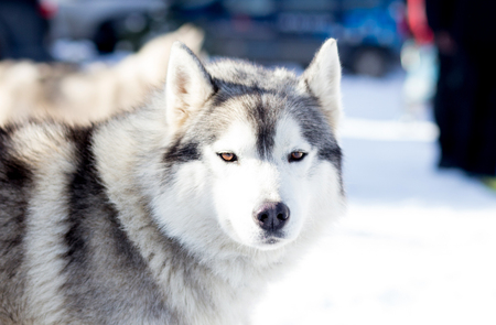 Grey wolf husky in the snow Stock Photo