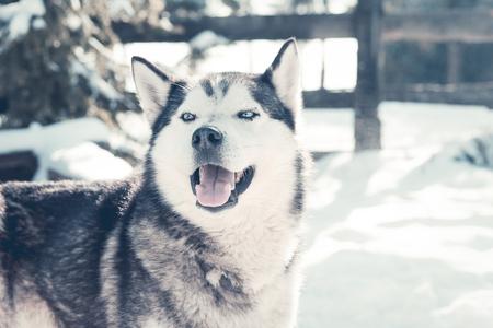 Wolf husky portrait in winter snow