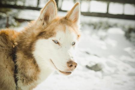 Cooper haired blue eyed husky