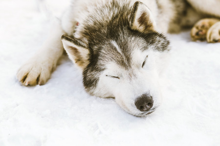 Siberian Husky sleeping on snow