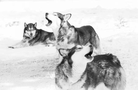 Siberian husky pack in the snow Archivio Fotografico - 97914977