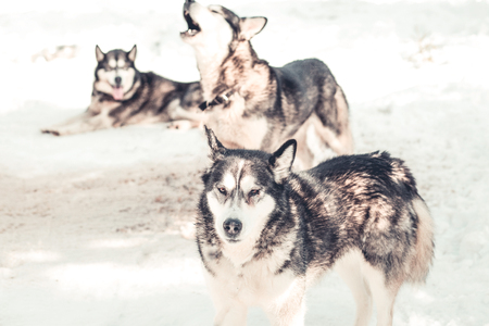 Siberian husky pack in the snow Stock Photo