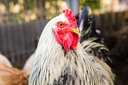 Rooster, organic raised chickens Stock Photo