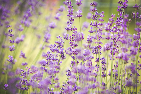 Blooming lavender flowers