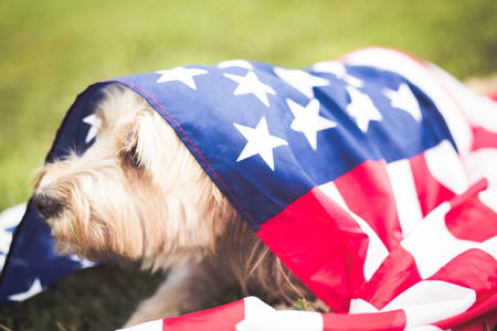 Happy dog with american flag in the grass