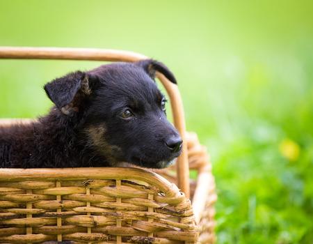 Black puppy in a  wooden basket
