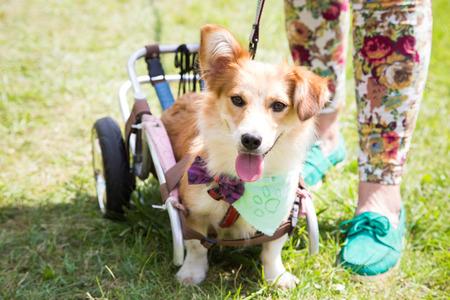 Happy paralyzed dog Stock Photo