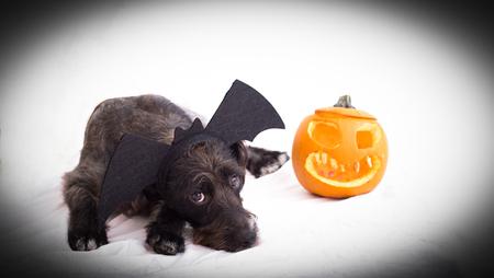 Halloween dog  background