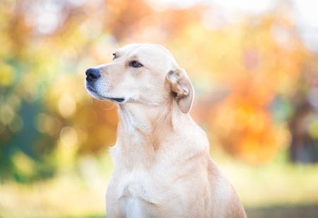 Mixed breed labrador rescue dog  in autumn garden