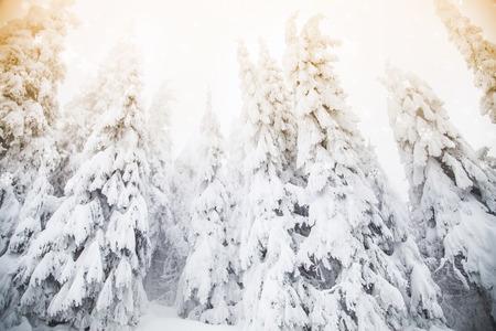 Snowy fir trees winter wonderland background