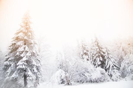 Snowy fir trees winter wonderland background Stock Photo