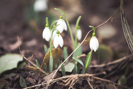 Spring snowdrops hope and purity symbol Фото со стока