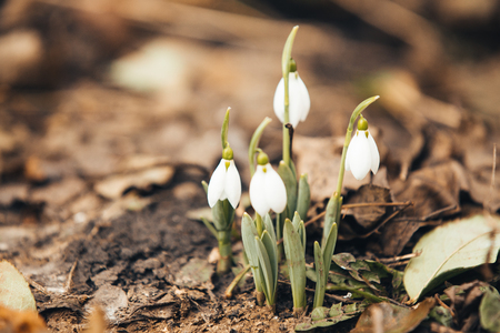 Spring snowdrops hope and purity symbol
