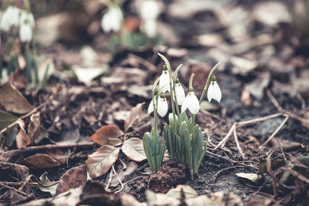 Spring snowdrops hope and purity symbol Standard-Bild