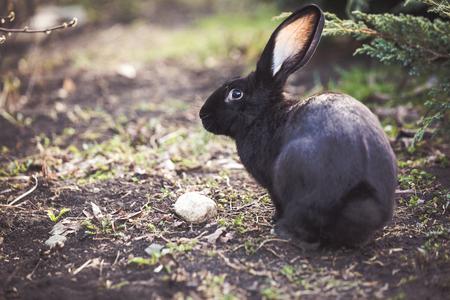 Black Easter rabbit in the garden