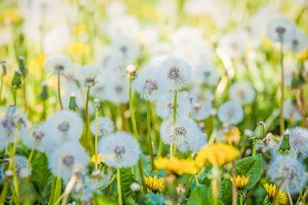 Summer dandelion flowers and fuzz field