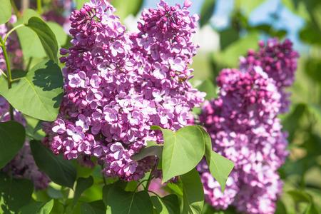 Lila gemeiner lila Blumenfrühlingshintergrund