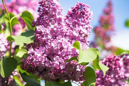 Purple common lilac flower spring background Standard-Bild