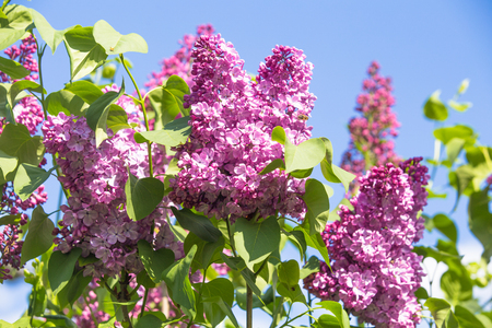 Purple common lilac flower spring background