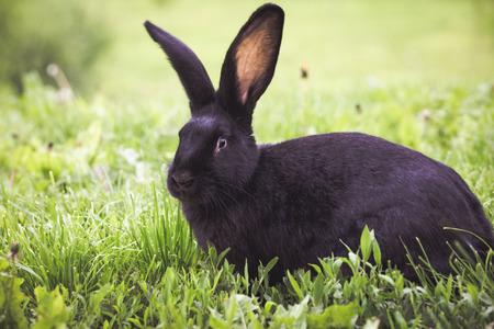 Black rabbit eating fresh green grass Imagens