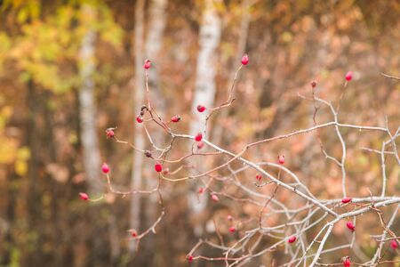 Red rosehip berries autumn background