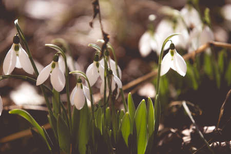 White spring snowdrops in the forest