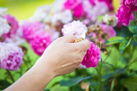 Collecting roses for rose petal jam Banque d'images