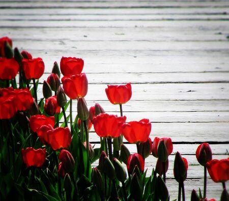 Tulips Along the Boardwalk