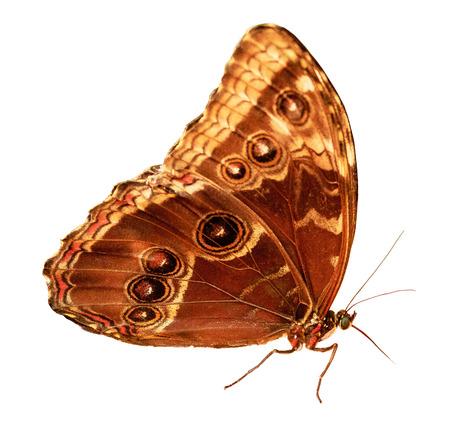 Owl Butterfly (Caligo) Isolated on White