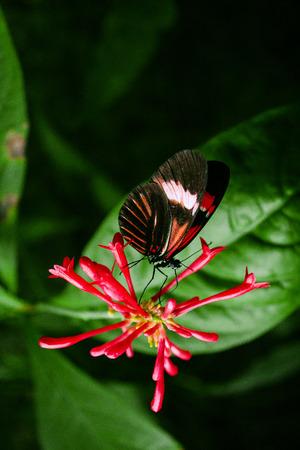 Cattleheart Butterfly (Parides iphidamas) Standard-Bild