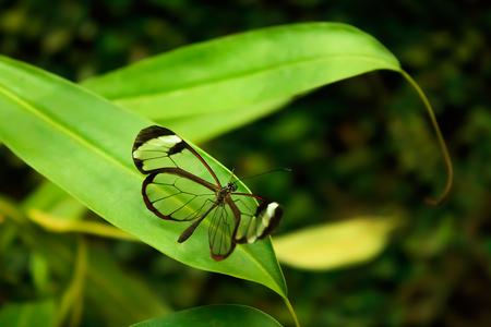 Glasswinged Butterfly (Greta oto) 스톡 콘텐츠