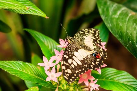 Lime Butterfly (Papilio demoleus) on Green Leaves Foto de archivo
