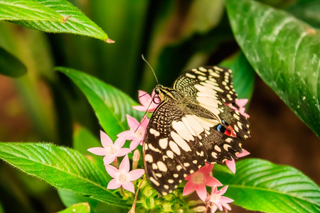 Lime Butterfly (Papilio demoleus) on Green Leaves Banque d'images