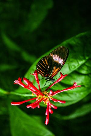 Cattleheart Butterfly (Parides iphidamas) 스톡 콘텐츠