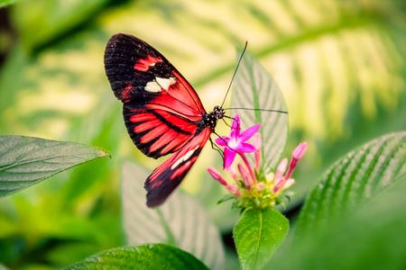 Cattleheart Butterfly (Parides iphidamas) Banque d'images - 76911410