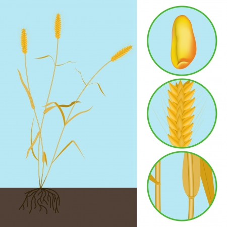 wheat as a plant with parts of the stem, ear and grain Stock Vector - 17355196