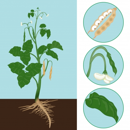 haricot as a plant with details of the leaf, inflorescence and seeds Stock Vector - 17899142